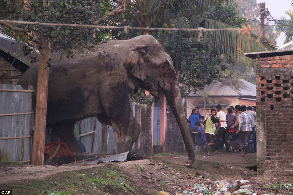 Wild Indian Elephant destroys homes