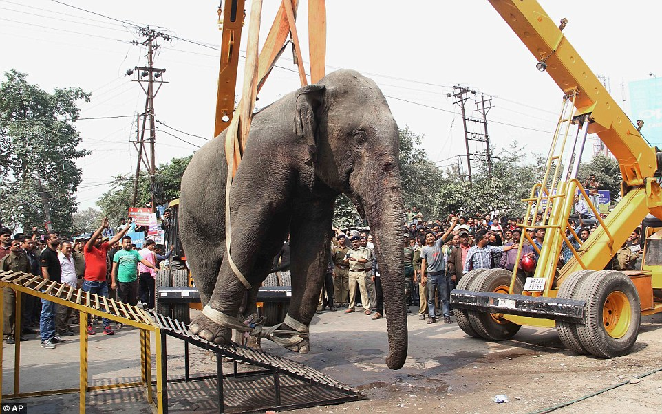 Wild Indian Elephant being transported back to the forest