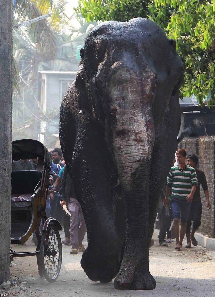Wild bloodied Indian Elephant destroys homes